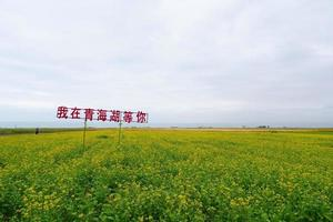 campo de flores de estupro e céu nublado na província de qinghai, china foto