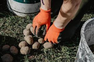 batatas sendo preparadas para o plantio no campo na primavera. foto