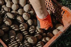 patatoes orgânicos em uma caixa antes de plantar no jardim na primavera. foto