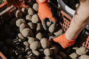 mãos tirando batatas da caixa antes de plantar no campo na primavera foto