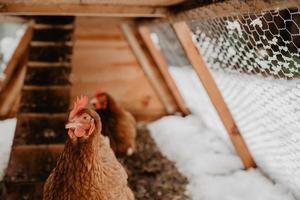 galinhas marrons em casa feita golpe no quintal rural, no inverno. foto
