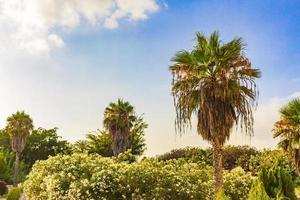 palmeiras coqueiros amanhecer canário espanhol ilha tenerife africa. foto