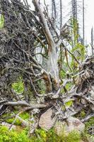 morrendo de prata floresta árvores arrancadas mortas brocken montanha harz alemanha foto