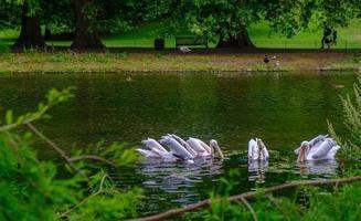 pelicanos nadando na lagoa do parque de st james em londres. foto