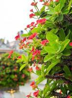 flor de espinho de cristo planta auspiciosa em locais religiosos chineses foto