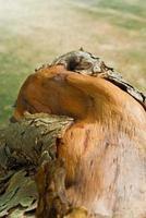 perto da velha textura de toco de madeira foto