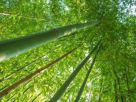 árvores de bambu de baixo foto