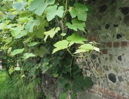 planta de videira, vitis vinifera foto