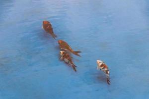 peixes de carpa koi dourado laranja nadam na lagoa da piscina azul. foto