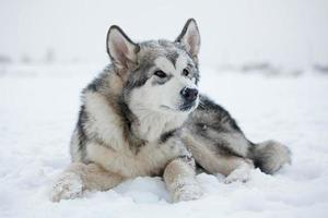 cachorro malamute na neve foto