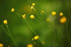 pequenas flores silvestres amarelas foto