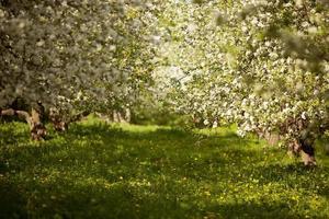 macieiras florescendo em um pomar foto