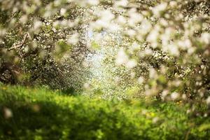 macieiras floridas em um pomar de primavera foto