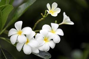 flor de frangipani branco foto
