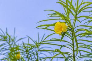 flor loendro amarelo na árvore com céu azul no México. foto