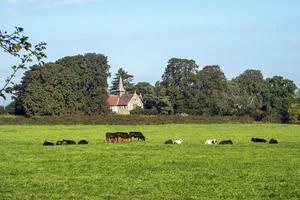 igreja da vila de acaster malbis atrás de um campo de vacas, yorkshire norte, inglaterra foto