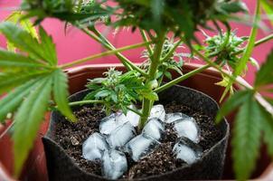 cannabis medicinal com cubos de gelo ao redor do caule principal antes da colheita foto
