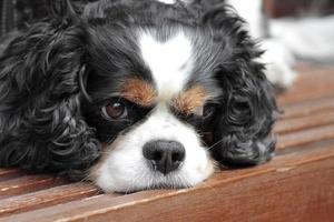 King Charles tipo cachorro doméstico de orelhas compridas foto