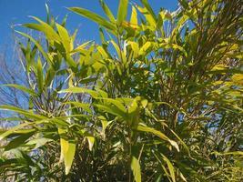 árvore de bambu deixa o fundo foto