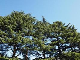 pinheiros ou pinus pinaceae sobre o céu azul foto