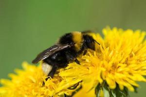 close-up de uma abelha em uma flor amarela de dente de leão foto
