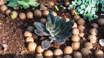 nozes de macadâmia no chão ao redor da planta, israel foto