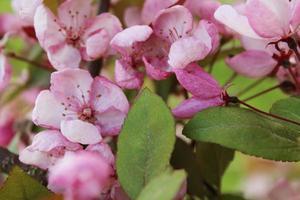 ramo de cerejeira em flor rosa foto