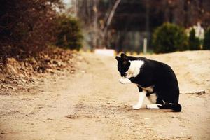 gato preto e branco lavando-se na estrada de areia do interior foto