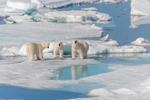 urso polar selvagem mãe e dois filhotes no gelo, ao norte de svalbard ártico noruega foto