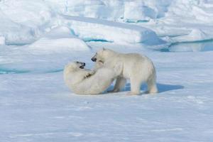 dois filhotes de urso polar selvagem brincando no gelo do mar Ártico, ao norte de svalbard foto