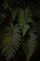 folhas verdes de planta de samambaia foto