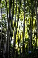floresta de bambu chinesa foto