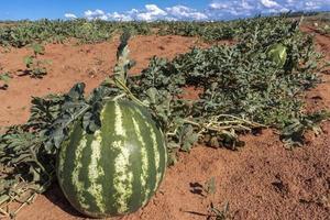 melancia crescendo no campo no brasil foto