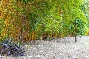 verdes amarelo bambu árvores floresta tropical san jose costa rica. foto