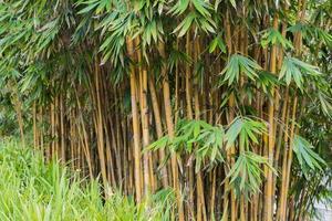 plantas de bambu no jardim botânico perdana, kuala lumpur foto
