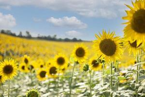 lindos girassóis no campo, fundo natural. foto