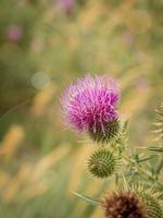 flor de bardana selvagem em um prado verde foto