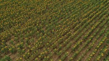 vista aérea de um grande campo de girassóis que floresce com uma bela cor dourada. foto