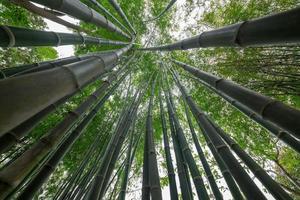bambu verde na floresta foto