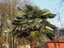 palmeira verde também conhecida como arecaceae foto