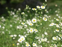 planta margarida também conhecida como bellis perennis foto
