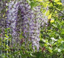 glicínia lilás, também conhecida como wistaria ou flor de flor wysteria foto
