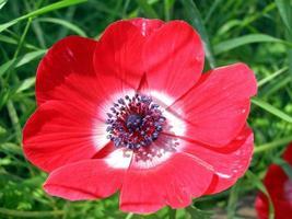 planta papaver também conhecida como papaveraceae, flor vermelha foto