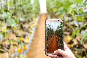 fazendeiro observando uma fotografia de melão arquivada no celular foto