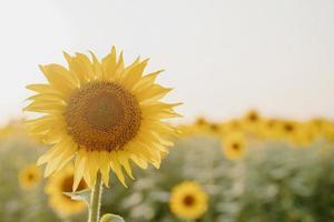 campo de girassol no pôr do sol, fundo da natureza foto