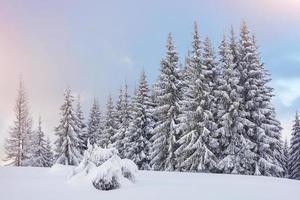 majestosos abetos vermelhos brilhando à luz do sol. cena invernal pitoresca e linda. local lugar parque nacional dos Cárpatos, ucrânia, europa. estação de esqui nos Alpes foto