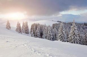 majestosos abetos vermelhos brilhando à luz do sol. cena invernal pitoresca e linda. local lugar parque nacional dos Cárpatos, ucrânia, europa. estação de esqui nos Alpes. tonificação azul. feliz ano novo mundo da beleza foto