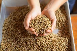 close-up de grãos de café escolhidos a dedo, grande pilha de café na mão. foto