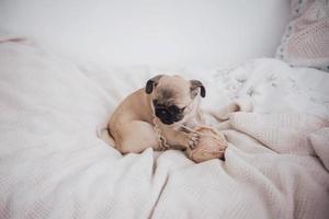 Cachorro pug sonolento engraçado com chiclete no olho do sono foto