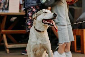cão pastor engraçado. rosto sorridente de animal de estimação com uma longa língua pendurada foto